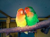 Длиннохвостый попугай 2 на ветви Стоковые Фото
