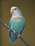 Длиннохвостый попугай на хворостине Стоковые Фотографии RF