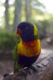 Длиннохвостый попугай радуги Стоковые Изображения