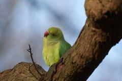 Длиннохвостый попугай смотрит quizzical стоковое изображение rf