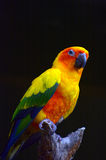Длиннохвостый попугай Солнця сидит на brance дерева Стоковые Изображения