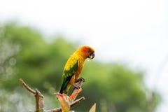 Длиннохвостый попугай Солнця (Солнце Conure) Стоковая Фотография RF