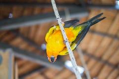 Длиннохвостый попугай Солнця стоя на веревочке Стоковая Фотография RF