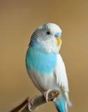 Длиннохвостый попугай стоковая фотография