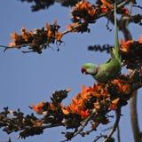 Длиннохвостый попугай Alexandrine в Bardia, Непале Стоковая Фотография RF