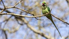 Длиннохвостый попугай Alexandrine на ветви дерева Стоковое Изображение