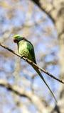Длиннохвостый попугай Alexandrine на ветви дерева Стоковые Изображения
