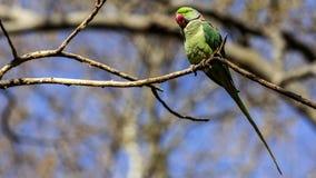 Длиннохвостый попугай Alexandrine на ветви дерева Стоковая Фотография RF