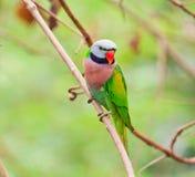 Длиннохвостый попугай Alexandrine Стоковая Фотография