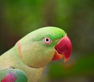 Длиннохвостый попугай Alexandrine Стоковое Изображение RF