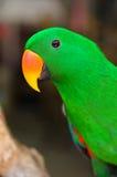 Длиннохвостый попугай Alexandrine Стоковые Фото
