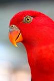 Длиннохвостый попугай Alexandrine Стоковые Изображения RF