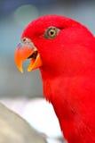 Длиннохвостый попугай Alexandrine Стоковое Фото