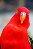 Длиннохвостый попугай Alexandrine Стоковые Изображения