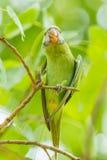 Длиннохвостый попугай Alexandrine Стоковая Фотография RF