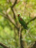 Длиннохвостый попугай Alexandrine Стоковое фото RF