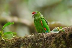 Длиннохвостый попугай El Oro Стоковое Изображение