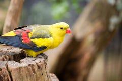 Длиннохвостый попугай Marlock Стоковое Изображение