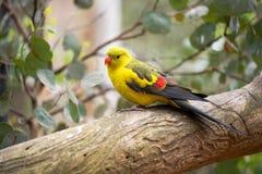 Длиннохвостый попугай Regend Стоковые Изображения