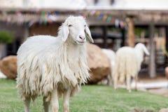 Длинные овцы шерстей стоя все еще стоковая фотография