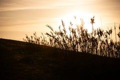 Длинные трава и заводы на заходе солнца около Oualidia, Марокко стоковые изображения rf