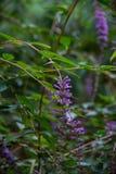 Длинные фиолетовые цветеня леса Стоковые Изображения RF
