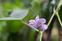 Длинные цветки фасоли Стоковая Фотография
