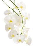 Длинные элегантные ветви белых романтичных орхидей Стоковые Изображения RF