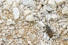 Длинный жук рожка с крылами темного коричневого цвета и желтыми пятнами Стоковое Изображение