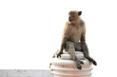 Длинный замкнутый мужчина макаки сидя на изолированной стене  Стоковая Фотография