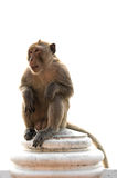 Длинный замкнутый мужчина макаки сидя на изолированной стене стоковое фото
