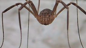 Длинный паукообразные ног двигая вне акции видеоматериалы