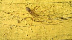 Длинный паук ног на желтом цвете видеоматериал