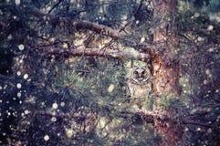 Длинный ушастый сыч в лесе Стоковые Фотографии RF