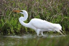Длинный Egret шеи Стоковое Фото