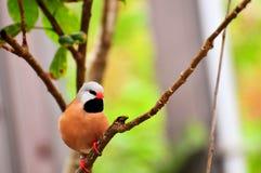 Длинн-замкнутая взрослым птица зяблика на ветви Стоковое Фото