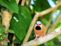Длинн-замкнутая птица зяблика на ветви дерева Стоковая Фотография