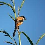 Длинн-замкнутое Shrike Стоковые Фото