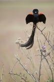 Длинн-замкнутое Widowbird Стоковое Изображение