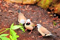 Длинн-замкнутые взрослым птицы зяблика Стоковые Изображения