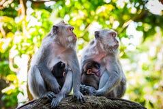 Длинн-замкнутые monkies макаки кормя их младенцев грудью Стоковая Фотография