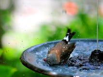 Длинн-замкнутый купать птицы зяблика Стоковые Изображения