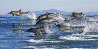Длинн-клеванные общие дельфины стоковое изображение