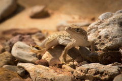 Длинн-обнюханная ящерица леопарда, wislizenii Gambelia Стоковые Фото
