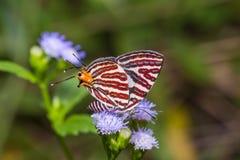 Длинн-соединенная бабочка Silverline Стоковое Изображение RF