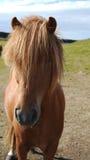 Длинн-с волосами исландская лошадь стоковые изображения