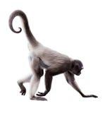 Длинн-с волосами обезьяна паука стоковая фотография