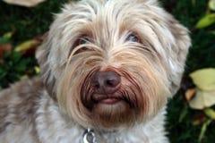 Длинн-с волосами собака осенью Стоковые Изображения