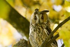 Длинн-ушастый сыч между листьями осени Стоковое Изображение RF