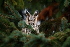 Длинн-ушастый сыч сидя на ветви в упаденном лесе лиственницы во время осени Сыч спрятанный в сцене живой природы леса от n стоковые фото